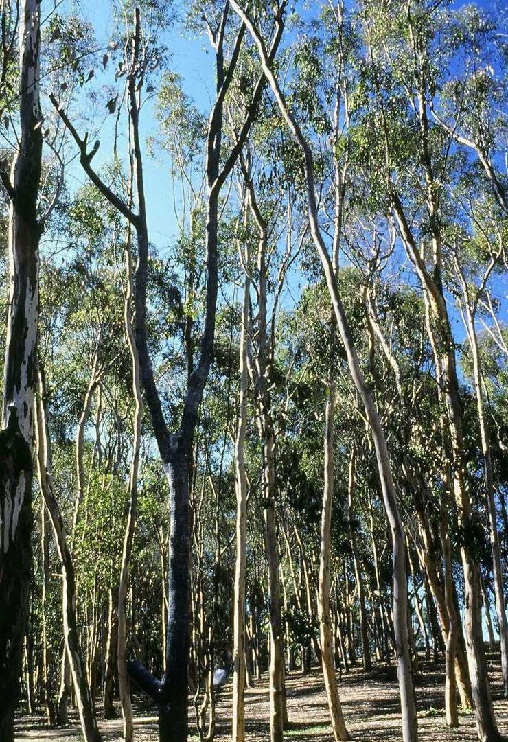 Allen-UCSD-tree-2